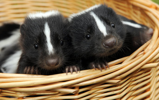 Pictures-Baby-Skunks.jpg
