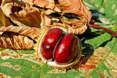 chestnut-2740751_640.jpg