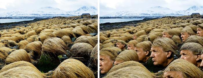 donald-trump-hair-growing-prairie-dropseed-tromso-norway-7.jpg