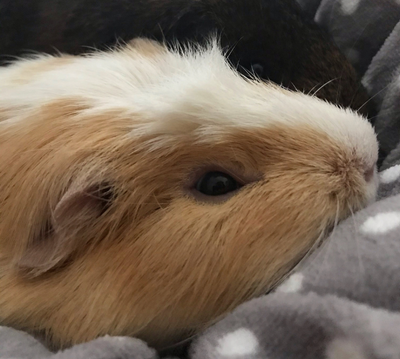 Picture of guinea pigs