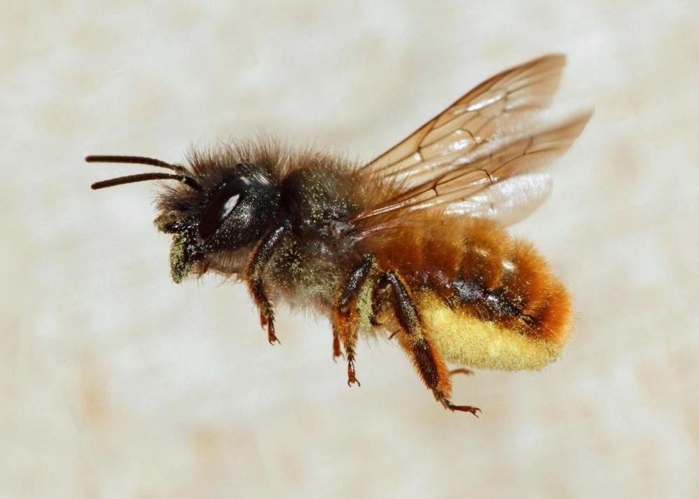 Red mason bee.jpg