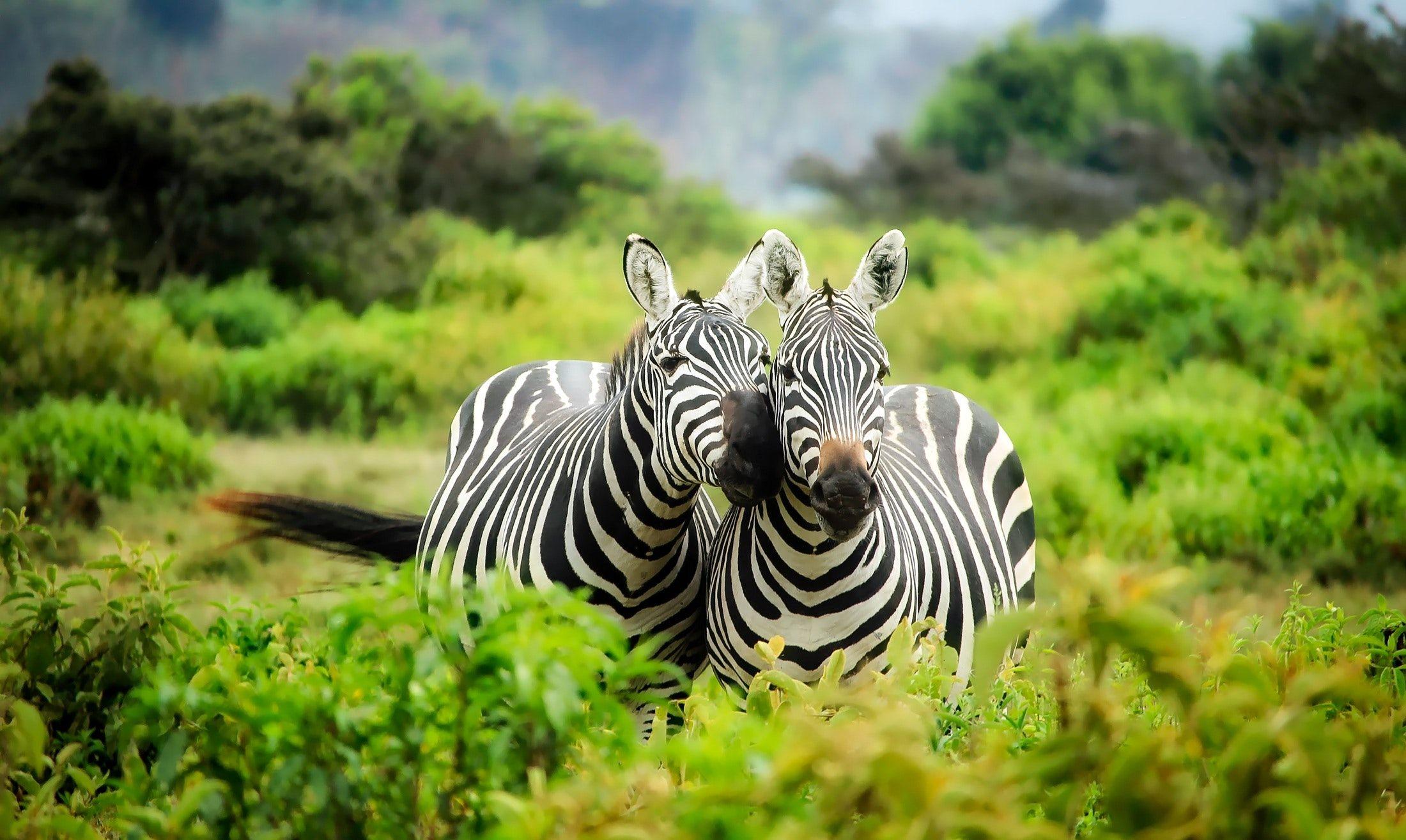 zebras-on-zebra-247376.jpg