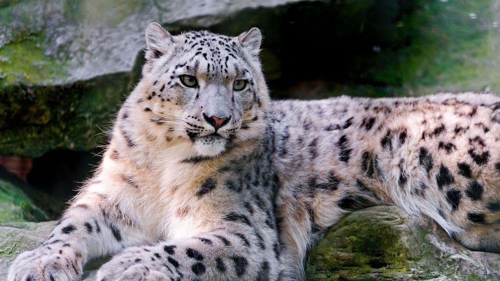 snow_leopard_big_cat_carnivore_lay_59922_1920x1080.jpg